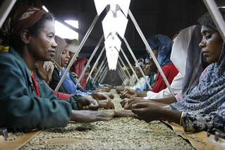 Sifting good beans from bad   by DFID - UK Department for International Development