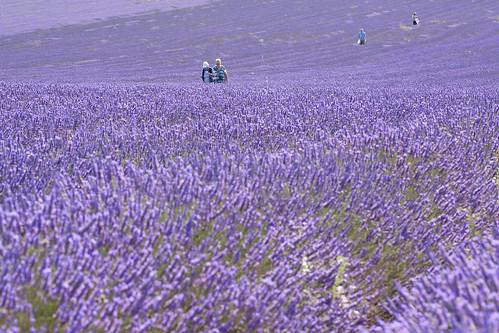 purple hitchin cadwell hss cmwdpurple happysliderssunday visitorstothefarmareencouragedtowalkthroughthemilesofrowsthatmakeupourtwofieldsoflavenderaswellastakinghomesomegreatphotosyoucanalsopickabunchoflavenderchildrenlovethefreedomtorunupanddowntherowswhilstpar artsistorthosejustwantingtotakelifealittleslowerthelavenderfieldisblessedwithsweepingviewsfromthefootpathsthatsurrounditfromthetopofthehillyoucanseenotonlythebeautyofthefieldinfullbutalsolocalcountrysidestr soothinglavenderfields