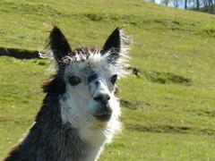 zo, 27/09/2009 - 19:20 - 57_ Alpaca Lama in Caleta Wilde Mathilde