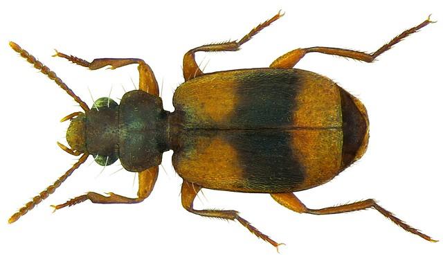 Somotrichus unifasciatus (Dejean, 1831)