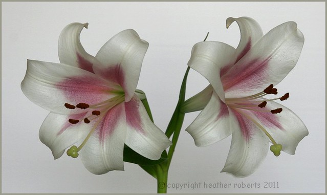 two blooms