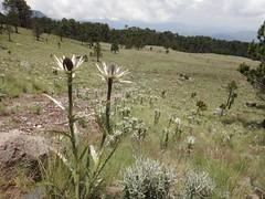 Flowers @ Nevado de Toluca
