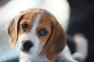 Gatsby, le magnifique Beagle | by nitot