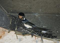Nesting Swallow