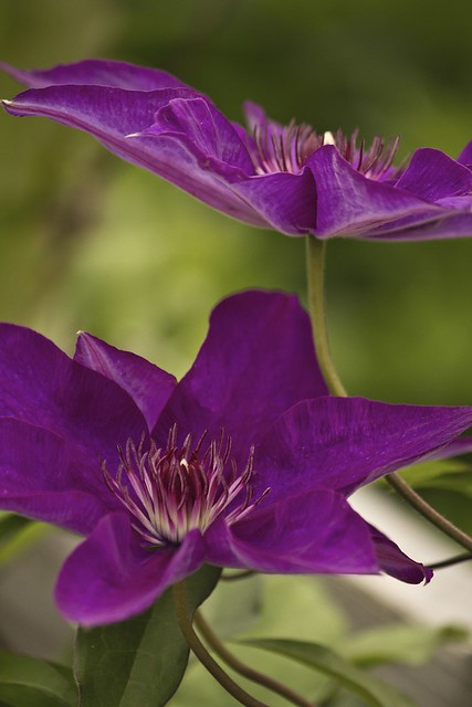 MAP3061 Purple Hues Clematis