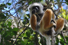 Mother Diademed Sifaka feeding