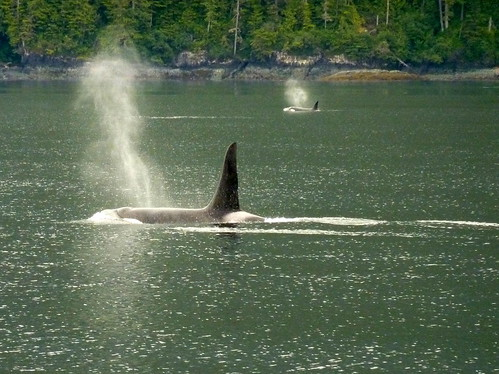 Canada, Vancouver Island, Telegraph Cove - whale watching - orca