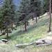 Pine Forest Flagstaff Mountain