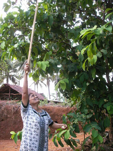 A. Justine beating roseapples from the tree | by Mich_Peters