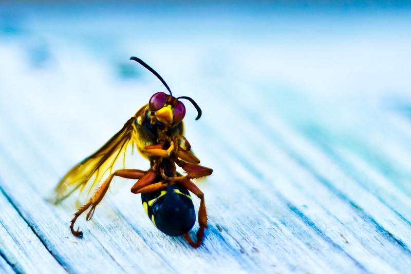 Meditating Hornet