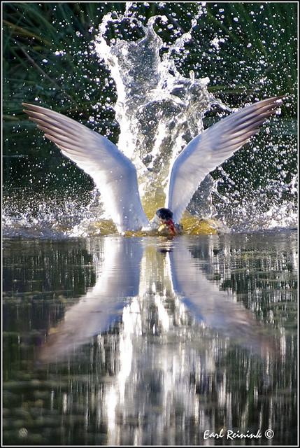20100816-0227 Caspian Tern