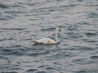 Trumpeter Swan C14  July 17, 2011