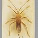 Homoeocerini Amyot & Serville, 1843
