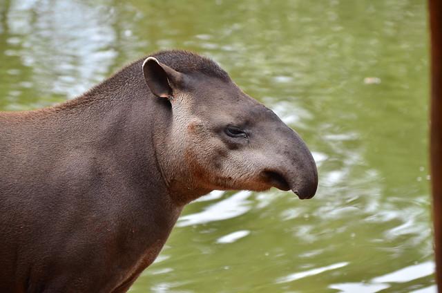 Anta Tapir