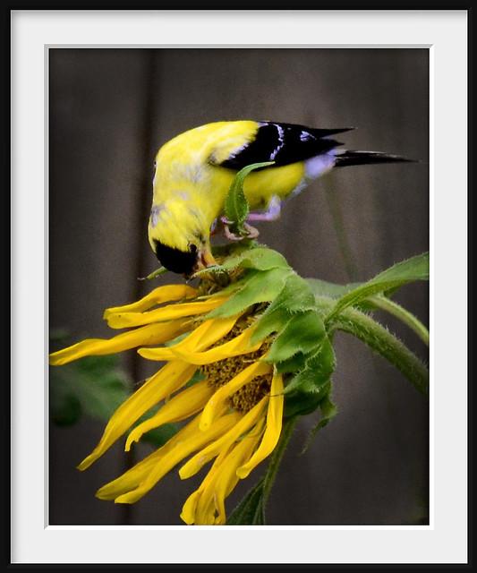 Backyard Birds 2011 - #14 Goldfinch Male Breeding
