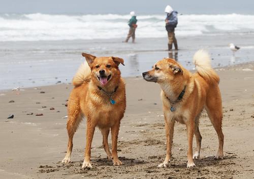 Bear & Dozer enjoying the beach | by tehgipster