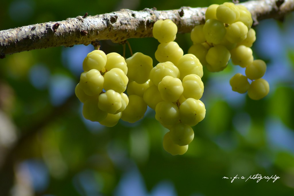 buah cermai + bokeh - M.F.A PHOTOGRAPHY - Flickr