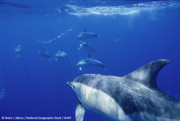 Short-beaked common dolphin, Κοινό δελφίνι