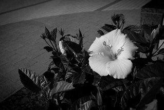 Wide angle hibiscus | by mrpolyonymous