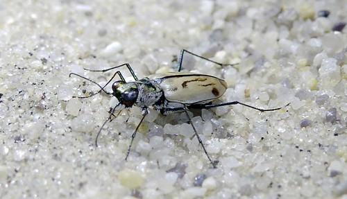Northeastern beach tiger beetle | by U. S. Fish and Wildlife Service - Northeast Region