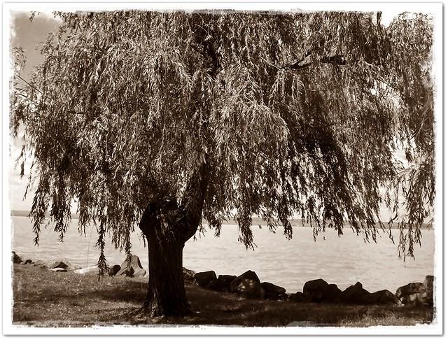 Our Balaton lake with a tree-A mi Balaton partunk