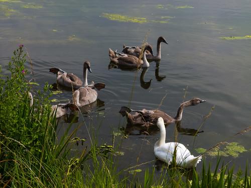 Swan and half-grown cygnets