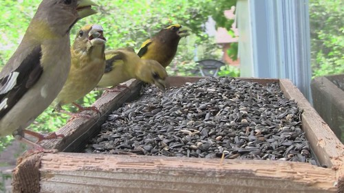 Evening Grosbeak family group