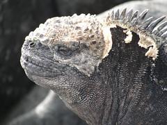 wo, 17/03/2010 - 16:31 - 07. Galapagos, San Christobal, zee-leguaan