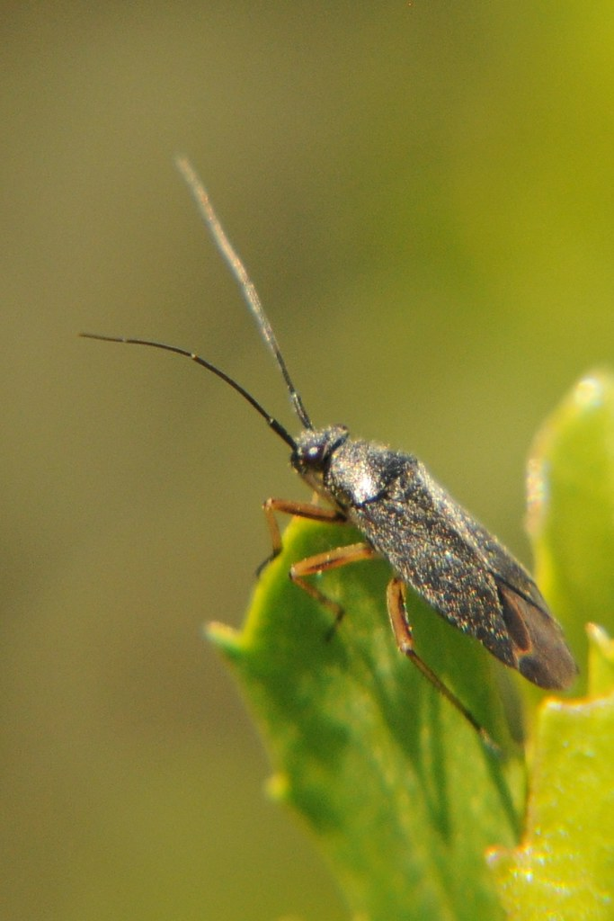 Unknown dark Hemipteran | Dark-hued Hemipteran (insect