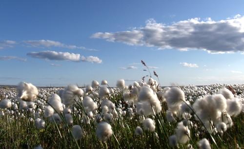 Wind Tossed Sea of Arctic Cotton