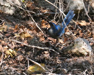 Western Scrub-Jay (<I>Aphelocoma californica</I>), Lost Maples State Park Texas | by VSmithUK