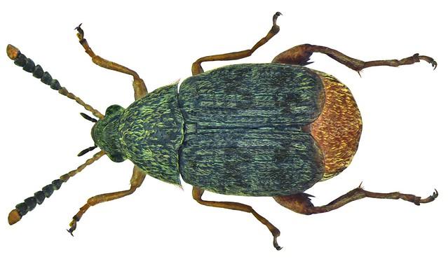 Acanthoscelides obtectus (Say, 1831)