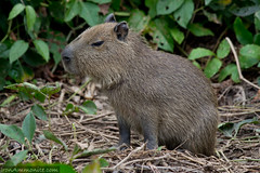 Capybara of the Pantanal, Brazil-6.jpg
