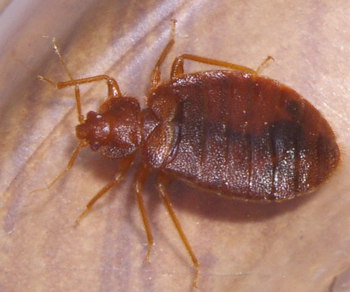 Bed Bug, motel in Mississippi (USA)