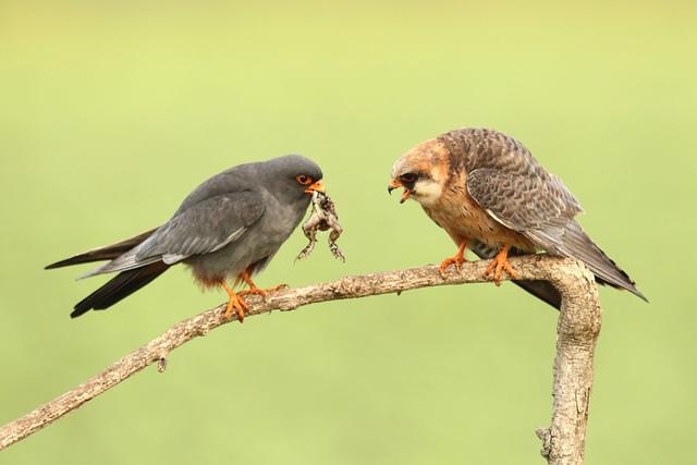 Falco vespertinus - Red-footed Falcon