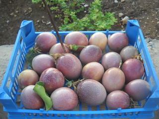 Passion Fruit Toutberry Frams picking aaaa Oct 12, 2015 | by toutberryfarms