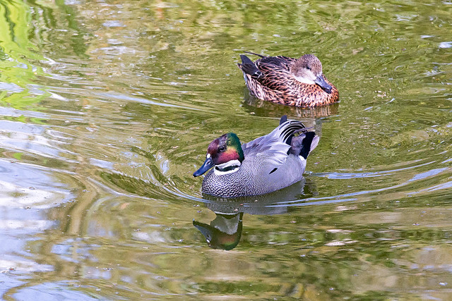 Falcated Duck (Anas falcata) at Woodland Park Zoo (3)