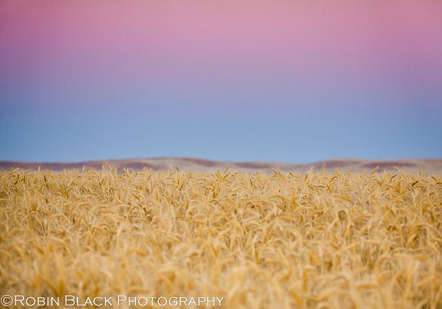 Belt of Venus, Earth Shadow, Sierra Foothills, Wheat Field (wheatfield study 2)