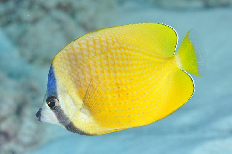 pez mariposa de Klein