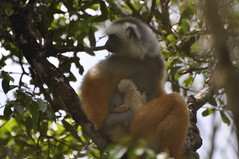 Mother Diademed Sifaka Nursing baby