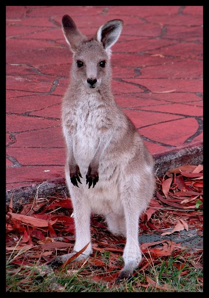 Baby Kangaroo Joey at sons place-1= | Baby Kangaroo Joey at
