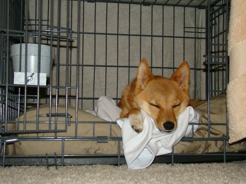 taro shiba, sleeping in his crate after a busy day | by _tar0_
