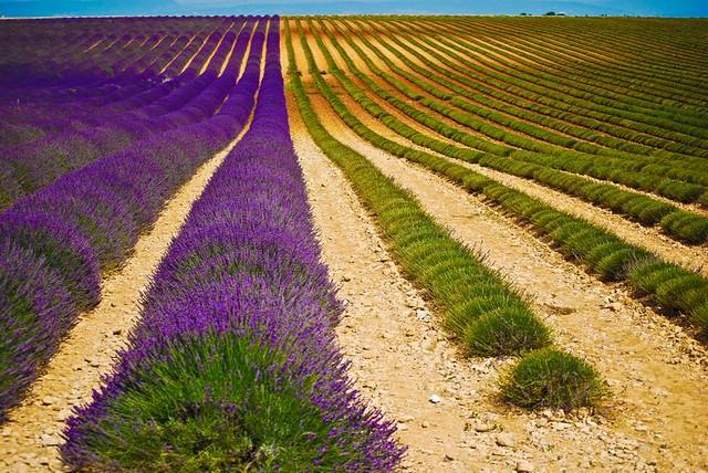 Valensole, lavanda: profumo e colore di Provenza - 0049 - 2011