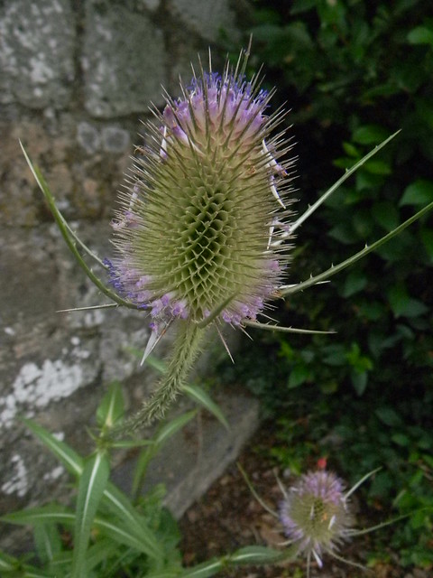 Teasel Amberley to Pulborough