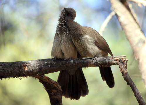 Arrow-marked Babbler (Turdoides jardineii) allopreening (= mutual preening) | by Derek Keats