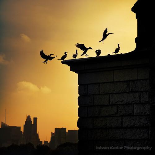 city nyc newyorkcity urban birds silhouette skyscraper landscape fly cityscape view centralpark manhattan unitedstatesofamerica reservoir cormorant shag the doublecrestedcormorant kormoran phalacrocoracidae idream magicunicornverybest magicunicornmasterpiece sbfmasterpiece sbfgrandmaster