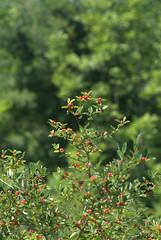 Berries by theexileinny