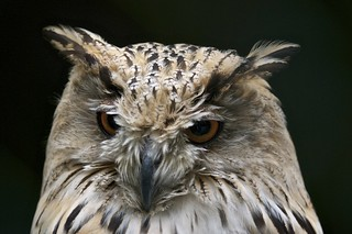 Siberian eagle owl | by jk-photos
