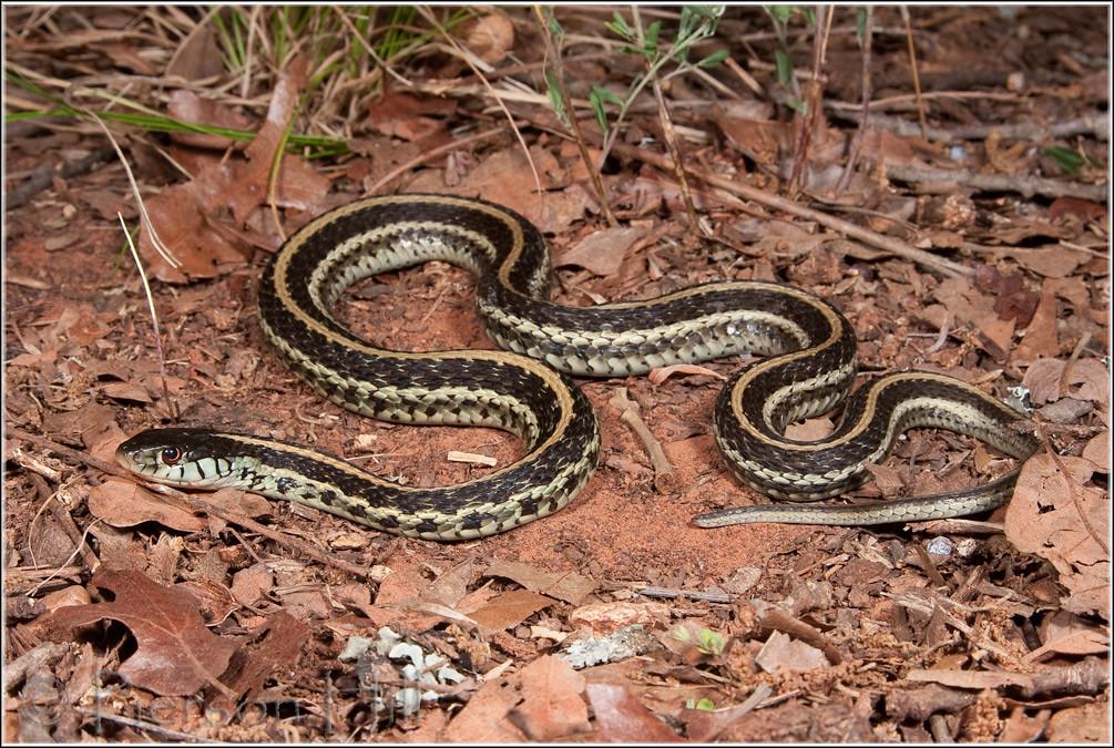 Texas Garter Snake (Thamnophis sirtalis annectans) | Flickr