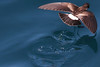 White-vented Storm-petrel 3 by rhysmarsh